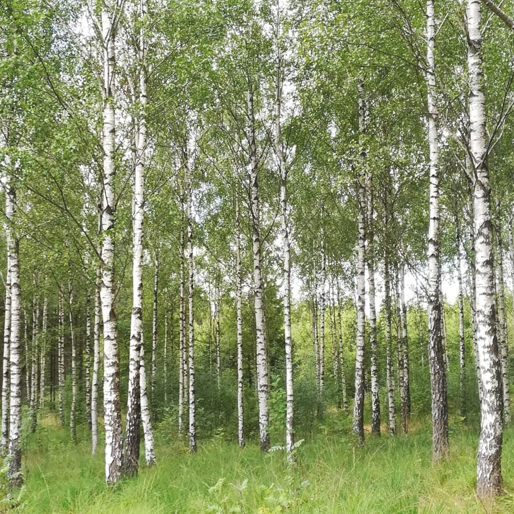 Birkenwald in Schweden im Sommer. Göttinnen-Retreat in Südschweden, Meditation, Yoga, Entspannung