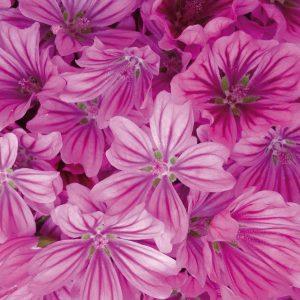 Kräftig pinkfarbene Malbenblüten, bei einer Kräuterwanderung gesammelt.