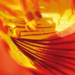 Blüte der Kapuzinerkresse. Andrea Laudenberg aus Bergisch Gladbach – naturzeit: Workshops und Beratung zum Thema Persönlichkeitsentwicklung mit der Kraft der Natur und Heilpflanzen.