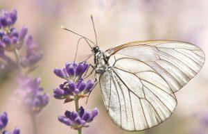 Schmetterling auf Lavendelblüte. Andrea Laudenberg aus Bergisch Gladbach – naturzeit: Workshops und Beratung zum Thema Persönlichkeitsentwicklung mit der Kraft der Natur und Heilpflanzen.